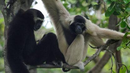 Wild Cambodia 814X458 Hanuman Travel