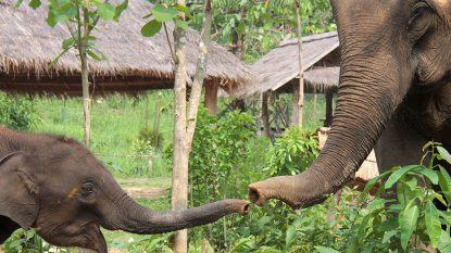 Elephant Conservation Centre Hanuman Tourism 814X458